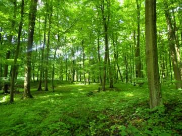 Hangelstein Wald